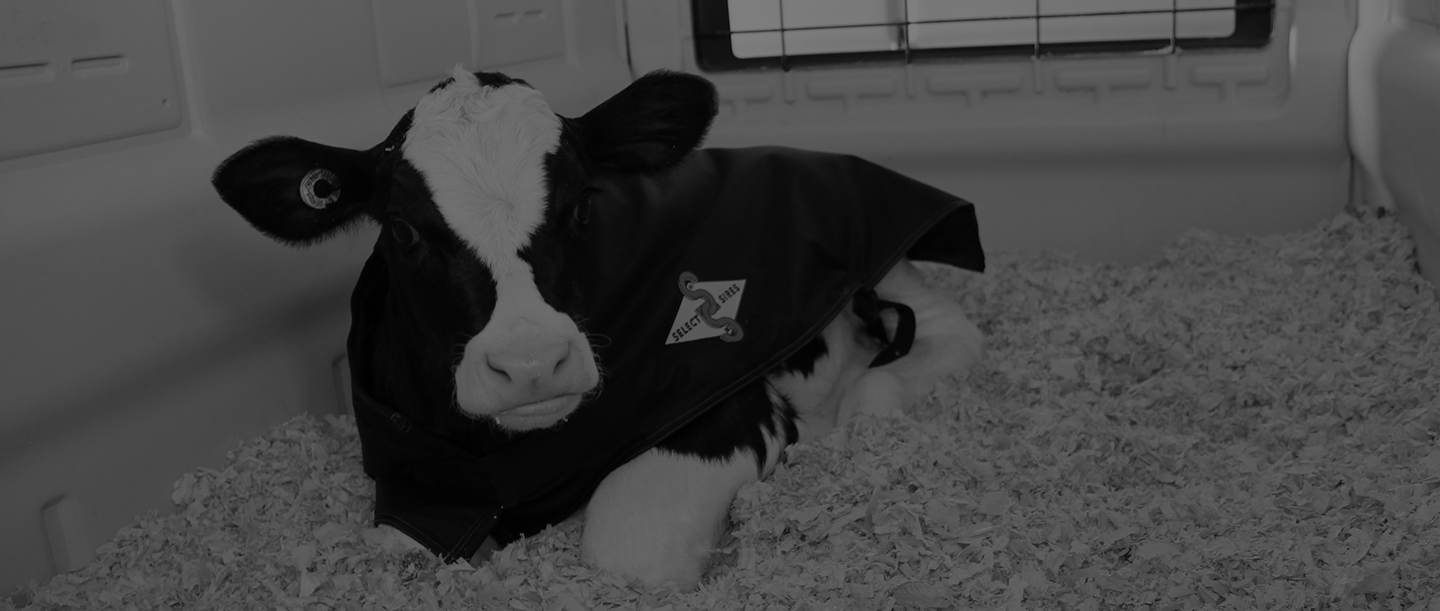 accelerated_jerseycow