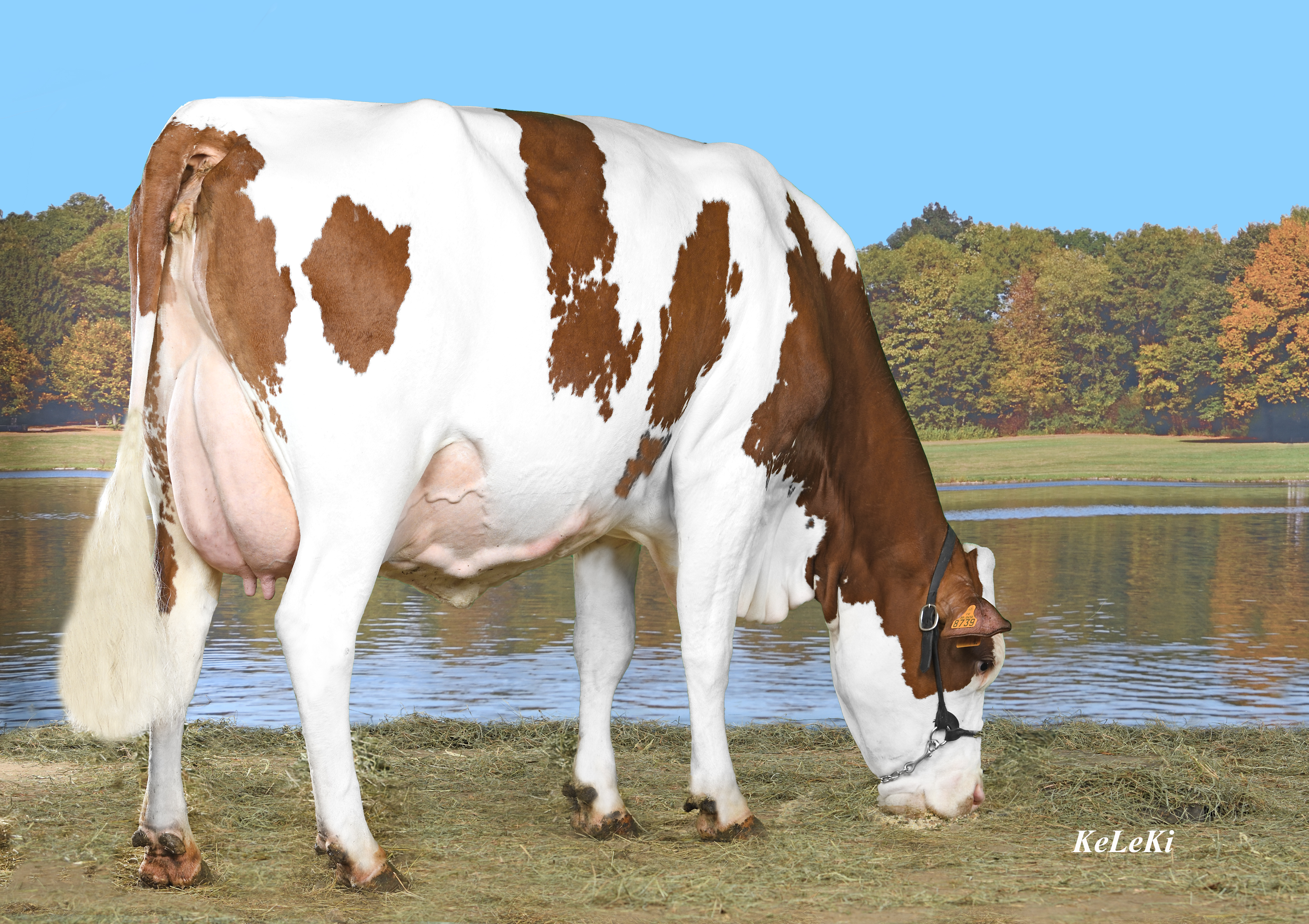 A professional photo of a Montbeliarde cow